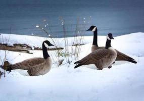 gansos canadenses. foto