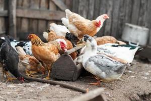 gansos e frango na fazenda foto