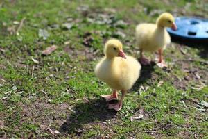 dois gosling foto