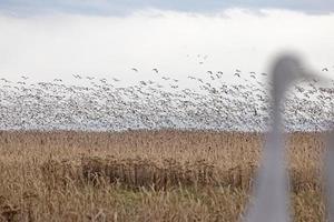 guindastes de sandhill assistindo gansos da neve foto