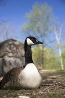 retrato de ganso canadense foto
