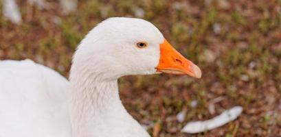 gansos brancos foto