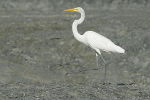 Garça-branca-grande foto