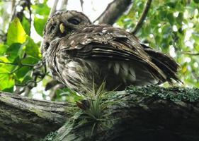 coruja barrada (strix varia) foto