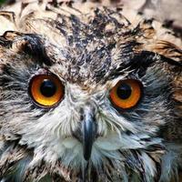 coruja de águia