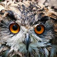 coruja de águia foto