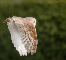 coruja de celeiro em voo foto