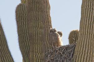duas corujas jovens em seu ninho foto
