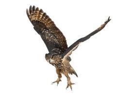 águia-coruja eurasian voando contra fundo branco foto