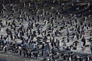 pinguine de magalhães foto