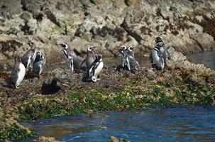 pinguins em chiloé foto