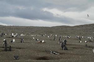pinguins na patagônia foto