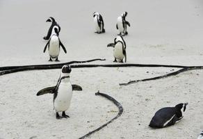 pinguim africano na praia. foto