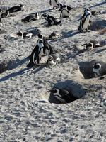 pinguim africano