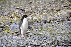 o pinguim adelie autônomo foto
