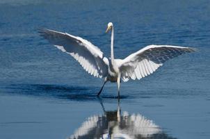 Garça-branca-grande desembarque em águas rasas foto