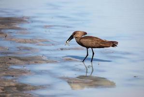 garça-sombra de pássaro-polatoglu (scopus umbretta) com um sapo foto