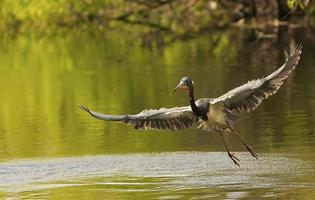 garça-real tricolor (egretta tricolor) voando