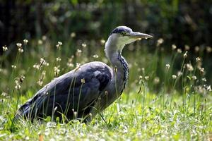 pássaros vadeando - garça-real cinzenta / czapla siwa foto