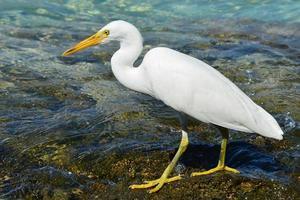 Garça branca de recife, olhando para a esquerda foto