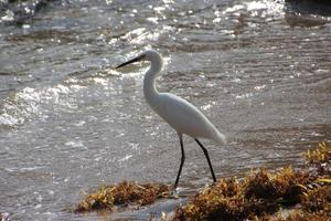 Garça branca na Flórida, Oceano Atlântico foto