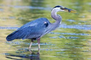 Garça-real de grande azul pega pequeno bluegill foto