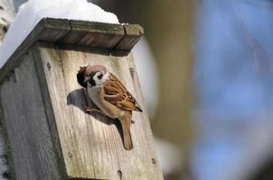 no inverno, pardal de árvore investiga possíveis instalações de ninhos foto