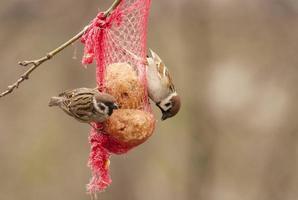 pássaros no saco de alimentação foto