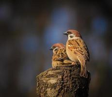 dois pássaros pardal foto