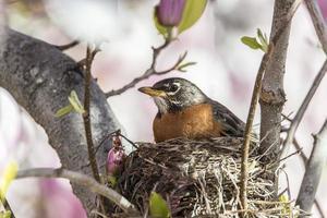 robin americano (turdus migratorius) foto