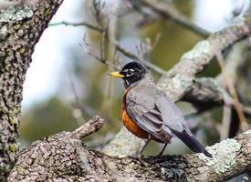 close-up vista do robin vermelho na árvore foto
