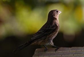 passarinho de casa feminino foto