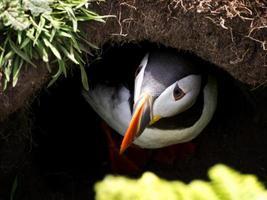 papagaio-do-mar na toca