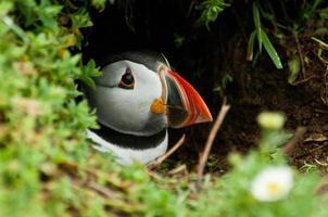papagaio-do-mar espreitando foto