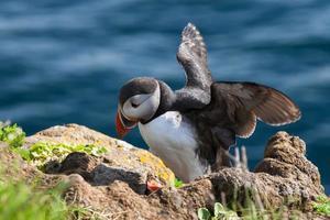 papagaio-do-mar fica em uma rocha, islândia foto