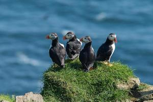 grupo de papagaios-do-mar foto