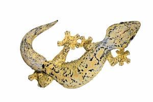 gecko de cauda de nabo (thecadactylus rapicauda) foto