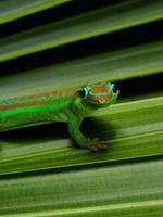gecko posando foto