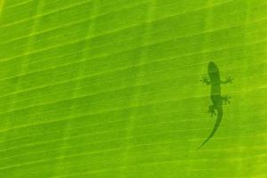 silhueta de lagartixa foto