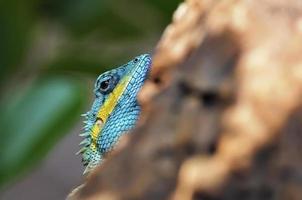 a lagartixa foto
