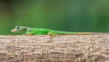 pequena lagartixa verde foto