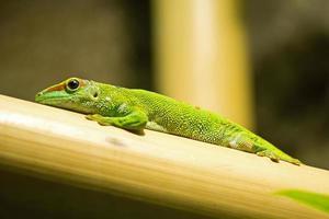 lagarto em bambu