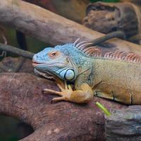 closeup de iguana colorida (réptil) na árvore