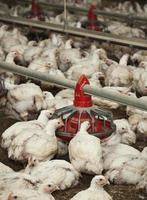série de fazenda de frango foto