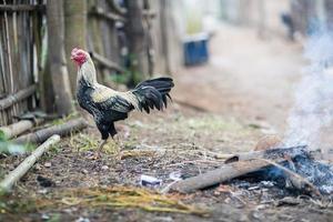 galo e galinhas foto
