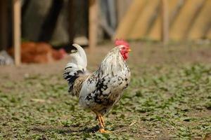 galo ou galinhas na exploração avícola tradicional ao ar livre foto