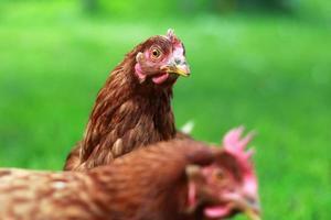 olhos de galinha foto