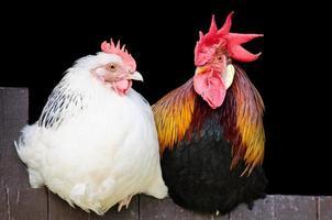 casal de galo e galinha foto
