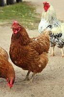 galinha marrom foto