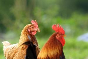 galinha e galo sobre fundo verde
